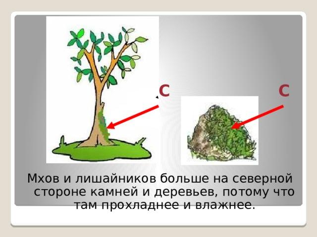С С Мхов и лишайников больше на северной стороне камней и деревьев, потому что там прохладнее и влажнее.