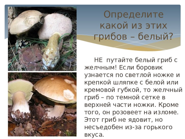 Определите какой из этих грибов – белый?  НЕ путайте белый гриб с желчным! Если боровик узнается по светлой ножке и крепкой шляпке с белой или кремовой губкой, то желчный гриб – по темной сетке в верхней части ножки. Кроме того, он розовеет на изломе. Этот гриб не ядовит, но несъедобен из-за горького вкуса.