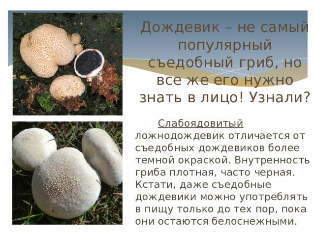 Иногда за шампиньон можно принять смертельно ядовитую белую поганку (мухомор вонючий). Однако сомнения развеять просто: у шампиньонов пластины под шляпкой коричневые, а у поганки – белые. Дождевик – не самый популярный съедобный гриб, но все же его нужно знать в лицо! Узнали?  Слабоядовитый ложнодождевик отличается от съедобных дождевиков более темной окраской. Внутренность гриба плотная, часто черная. Кстати, даже съедобные дождевики можно употреблять в пищу только до тех пор, пока они остаются белоснежными.