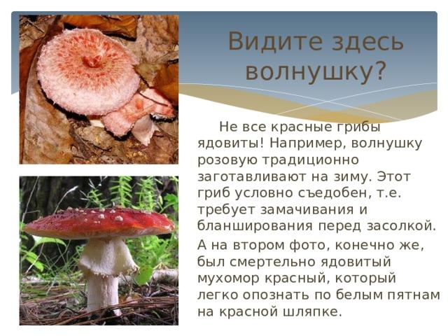 Видите здесь волнушку?  Не все красные грибы ядовиты! Например, волнушку розовую традиционно заготавливают на зиму. Этот гриб условно съедобен, т.е. требует замачивания и бланширования перед засолкой. А на втором фото, конечно же, был смертельно ядовитый мухомор красный, который легко опознать по белым пятнам на красной шляпке.
