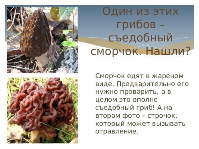 Один из этих грибов – съедобный сморчок. Нашли?  Сморчок едят в жареном виде. Предварительно его нужно проварить, а в целом это вполне съедобный гриб! А на втором фото – строчок, который может вызывать отравление.