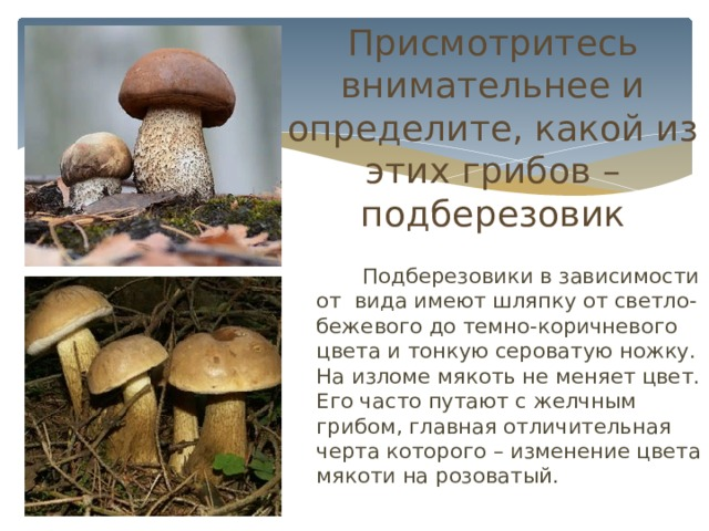 Присмотритесь внимательнее и определите, какой из этих грибов – подберезовик   Подберезовики в зависимости от вида имеют шляпку от светло-бежевого до темно-коричневого цвета и тонкую сероватую ножку. На изломе мякоть не меняет цвет. Его часто путают с желчным грибом, главная отличительная черта которого – изменение цвета мякоти на розоватый.