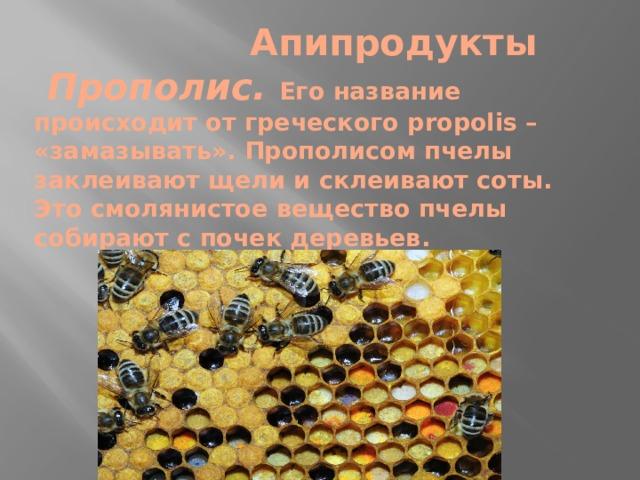 Апипродукты   Прополис.  Его название происходит от греческого propolis – «замазывать». Прополисом пчелы заклеивают щели и склеивают соты. Это смолянистое вещество пчелы собирают с почек деревьев.