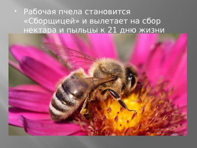 Рабочая пчела становится «Сборщицей» и вылетает на сбор нектара и пыльцы к 21 дню жизни