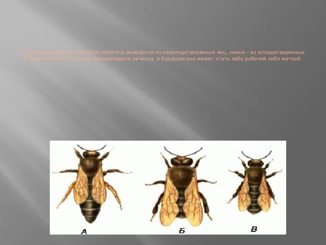 Трутни медоносных пчел (Apis mellifera) выводятся из неоплодотворенных яиц, самки – из оплодотворенных. В зависимости от того как выкармливали личинку, в будущем она может стать либо рабочей либо маткой.