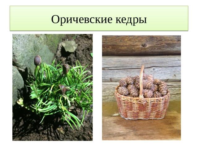 Оричевские кедры