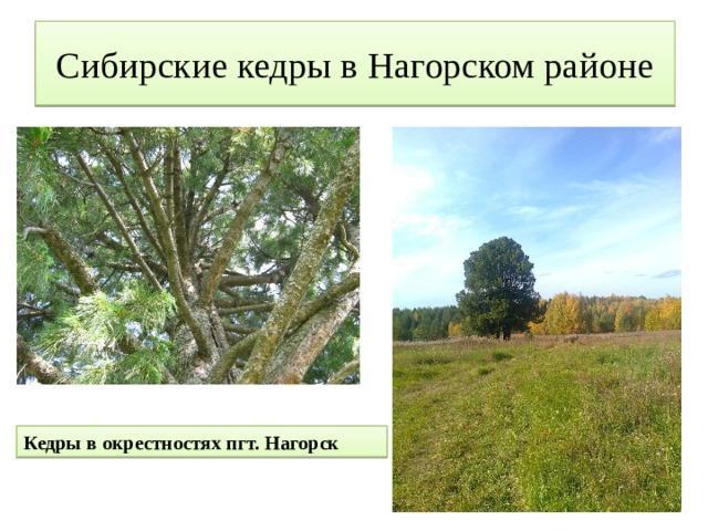 Сибирские кедры в Нагорском районе Кедры в окрестностях пгт. Нагорск