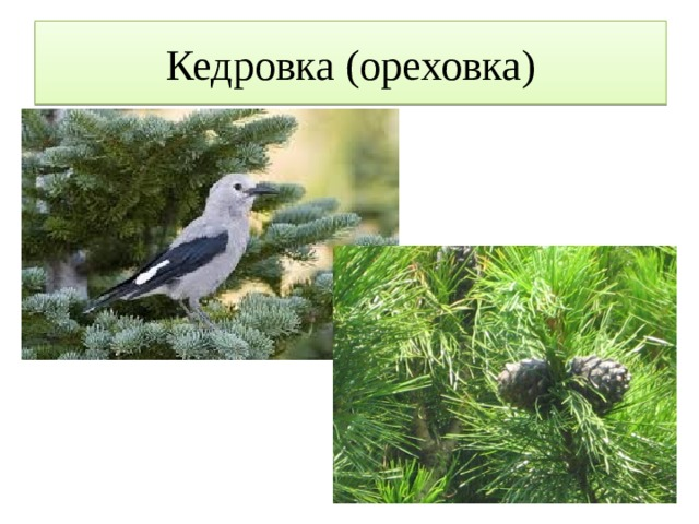 Кедровка (ореховка)