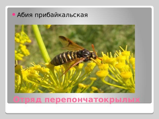 Абия прибайкальская