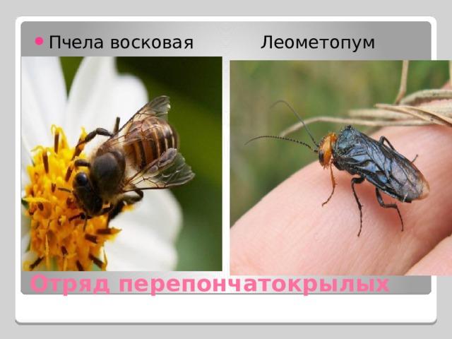Пчела восковая Леометопум