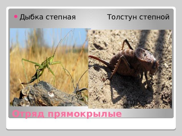 Дыбка степная Толстун степной