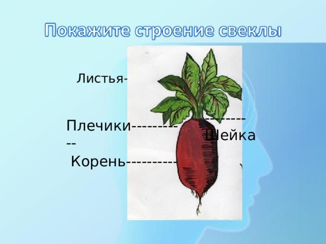Листья------- --------Шейка Плечики----------- Корень----------