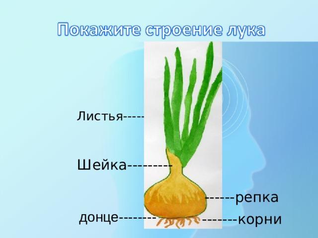 Листья------- Шейка--------- ------репка  донце-------- -------корни