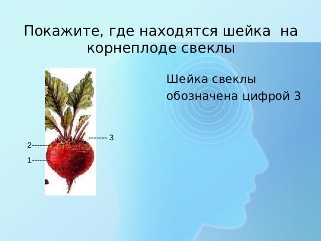 Покажите, где находятся шейка на корнеплоде свеклы Шейка свеклы обозначена цифрой 3 ------- 3 2------- 1-------