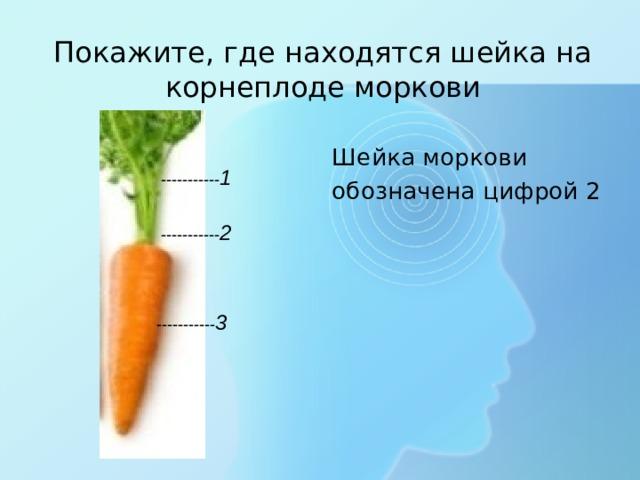Покажите, где находятся шейка на корнеплоде моркови Шейка моркови обозначена цифрой 2 ----------- 1 ----------- 2 ----------- 3
