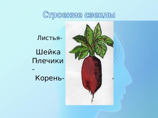 Листья- Шейка- Плечики- Корень-