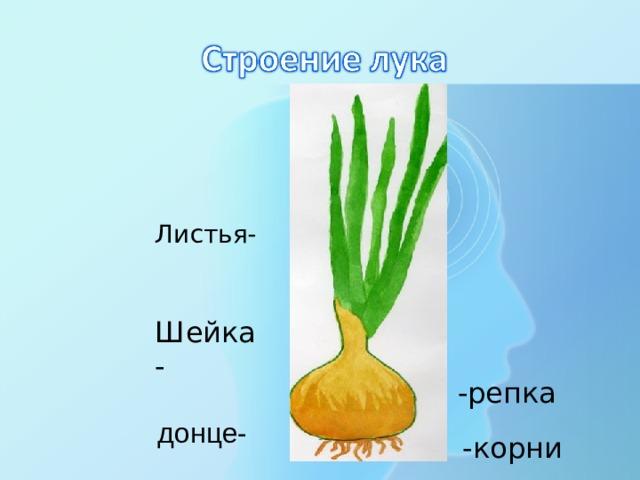 Листья- Шейка- - репка  донце- - корни