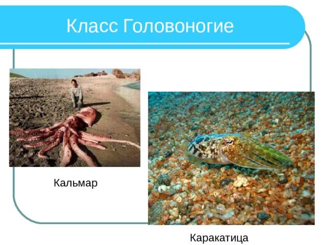 Класс Головоногие Кальмар Каракатица