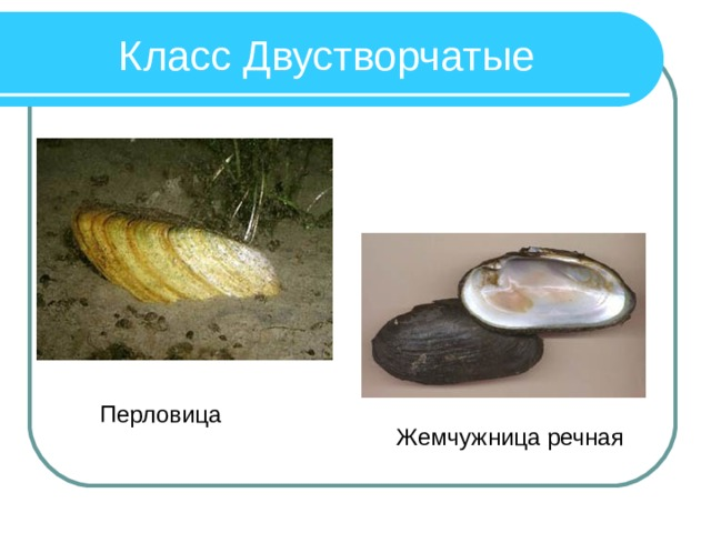 Класс Двустворчатые Перловица Жемчужница речная