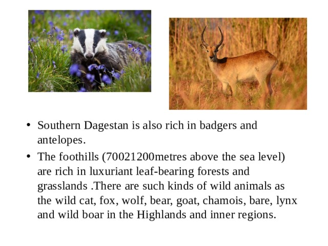 Southern Dagestan is also rich in badgers and antelopes. The foothills (70021200metres above the sea level) are rich in luxuriant leaf-bearing forests and grasslands .There are such kinds of wild animals as the wild cat, fox, wolf, bear, goat, chamois, bare, lynx and wild boar in the Highlands and inner regions.