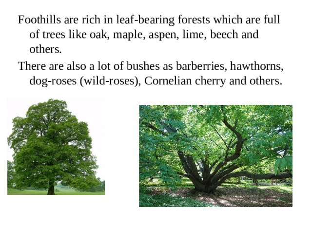 Foothills are rich in leaf-bearing forests which are full of trees like oak, maple, aspen, lime, beech and others. There are also a lot of bushes as barberries, hawthorns, dog-roses (wild-roses), Cornelian cherry and others.