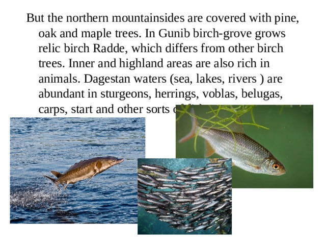 But the northern mountainsides are covered with pine, oak and maple trees. In Gunib birch-grove grows relic birch Radde, which differs from other birch trees. Inner and highland areas are also rich in animals. Dagestan waters (sea, lakes, rivers ) are abundant in sturgeons, herrings, voblas, belugas, carps, start and other sorts of fish.