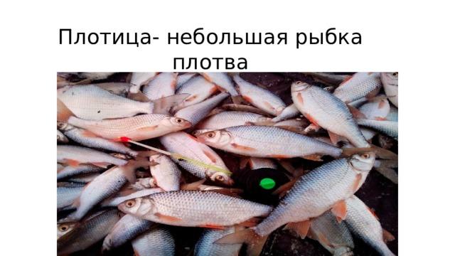Плотица- небольшая рыбка плотва