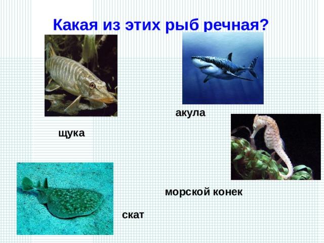 Какая из этих рыб речная? акула щука  морской конек скат