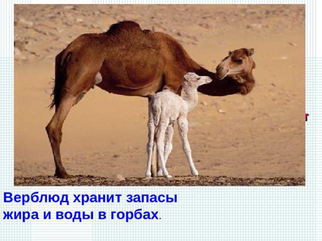 Дикий вид этого животного сохранился только в Монголии, в самых глухих уголках кустарниковых пустынь. Зимует в горах: спасается от холодных ветров. Кормится колючими кустарниками, молодыми побегами саксаула. Может подолгу не есть и не пить.   В какой части тела это животное запасает воду и пищу и как оно называется? Верблюд хранит запасы жира и воды в горбах .