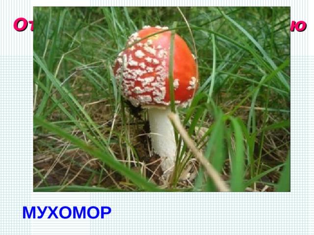 Отгадайте гриб по описанию  Цвет от ярко-оранжевого до коричневого, диаметр 7-12 см. Форма шляпки округло-выпуклая, возможно, с небольшим углублением в центре. Поверхность покрыта белыми хлопьями (остатками общего покрывала) - когда обильно, а когда и не очень. Мякоть белая, запах неприятный, особого вкуса не отмечается. МУХОМОР