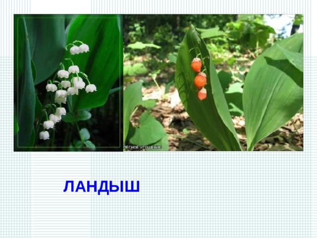 Гирлянды белых маленьких колокольчиков висят весной между остроконечных листьев. А летом на месте цветков – красная ягода. Но не бери ее в рот – она ядовитая. ЛАНДЫШ
