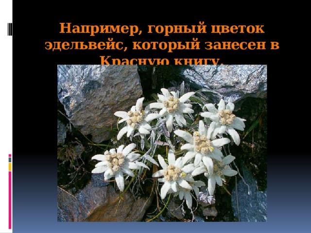 Например, горный цветок эдельвейс, который занесен в Красную книгу.