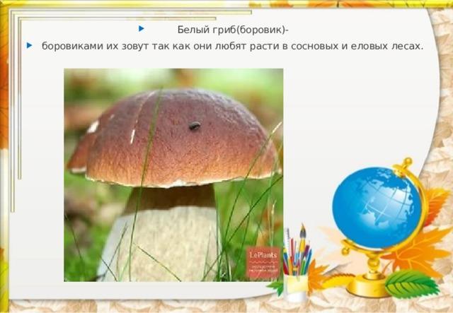 Белый гриб(боровик)- боровиками их зовут так как они любят расти в сосновых и еловых лесах.