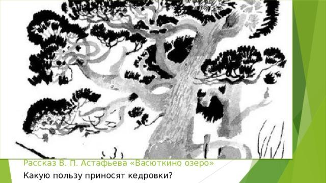 Рассказ В. П. Астафьева «Васюткино озеро» Какую пользу приносят кедровки?