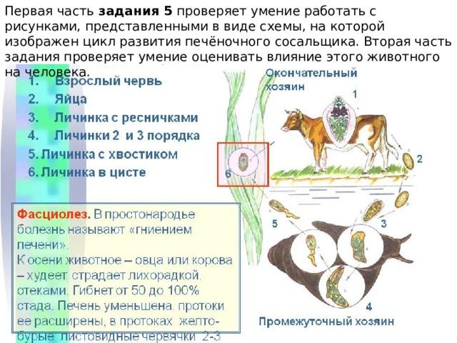 Первая часть задания 5 проверяет умение работать с рисунками, представленными в виде схемы, на которой изображен цикл развития печёночного сосальщика. Вторая часть задания проверяет умение оценивать влияние этого животного на человека.