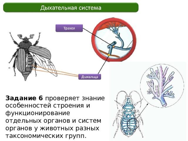 Задание 6 проверяет знание особенностей строения и функционирование отдельных органов и систем органов у животных разных таксономических групп.