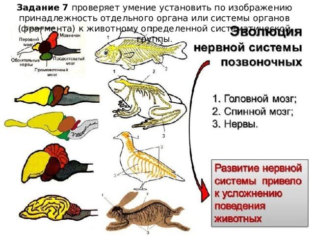 Задание 7 проверяет умение установить по изображению принадлежность отдельного органа или системы органов (фрагмента) к животному определенной систематической группы .