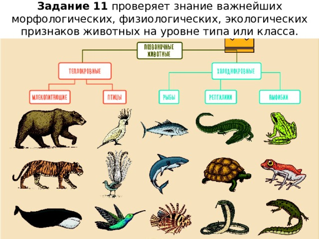 Задание 11 проверяет знание важнейших морфологических, физиологических, экологических признаков животных на уровне типа или класса.