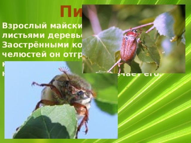 Питание Взрослый майский жук питается листьями деревьев и кустарников. Заострёнными концами верхних челюстей он отгрызает небольшой кусочек листа, а зазубренными краями нижних челюстей измельчает его.