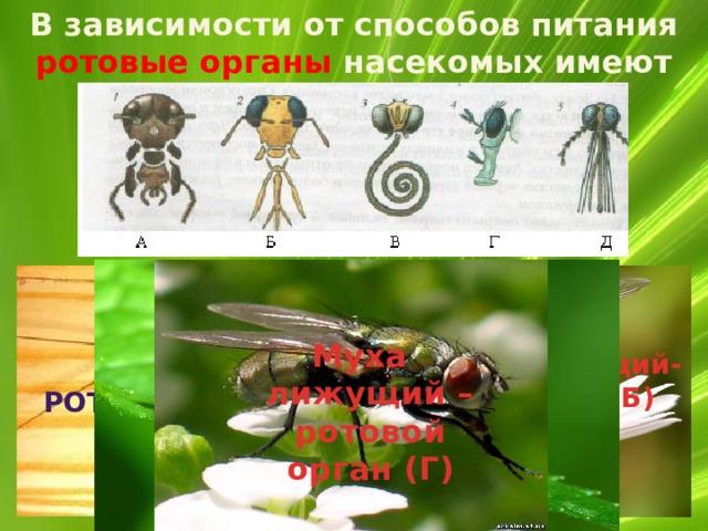 В зависимости от способов питания ротовые органы насекомых имеют разное строение.  кишка Пчела грызуще – лижущий-ротовой орган (Б) Таракан грызущий- ротовой орган (А) яичник Муха лижущий – ротовой орган (Г) Комар Колюще-сосущий (Д) Бабочка сосущий-ротовой аппарат (В)