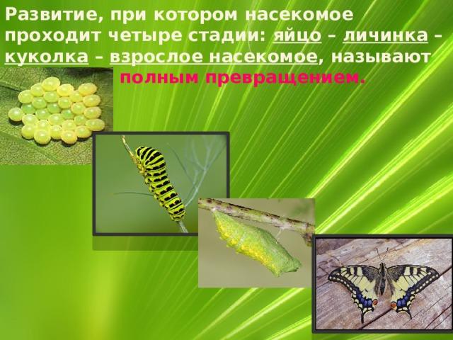Развитие, при котором насекомое проходит четыре стадии: яйцо – личинка – куколка – взрослое насекомое , называют развитие с полным превращением.