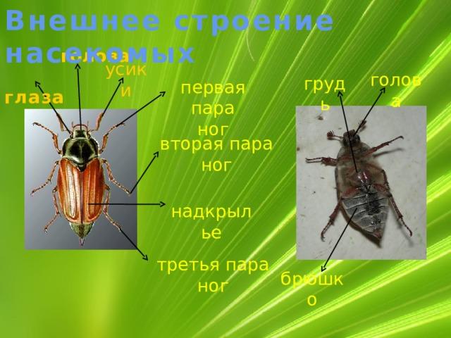 Внешнее строение насекомых голова   усики  глаза голова грудь первая пара ног  вторая  пара ног надкрылье  третья пара ног брюшко