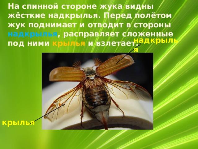 На спинной стороне жука видны жёсткие надкрылья. Перед полётом жук поднимает и отводит в стороны надкрылья , расправляет сложенные под ними крылья и взлетает. надкрылья крылья