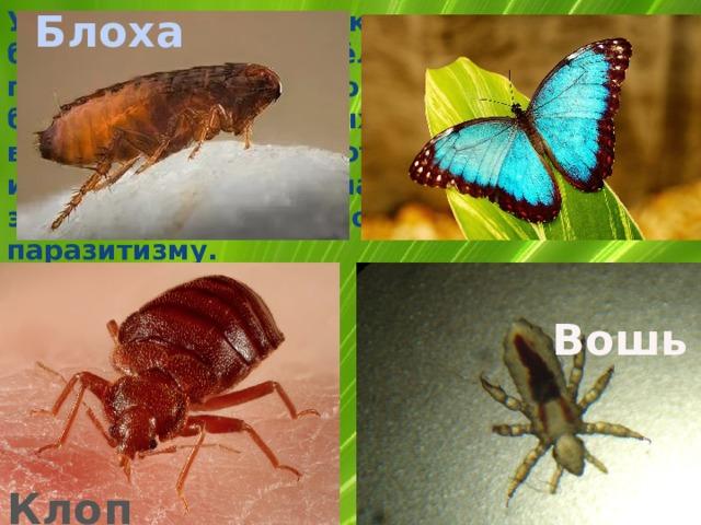 У многих других насекомых, например бабочек, стрекоз, пчёл, все четыре крыла по плотности одинаковые. Крылья есть у большинства взрослых насекомых, но не у всех. Крылья не имеют блохи, вши, клопы и некоторые другие насекомые. Обычно это связано с приспособлением к паразитизму. Блоха  Вошь Клоп