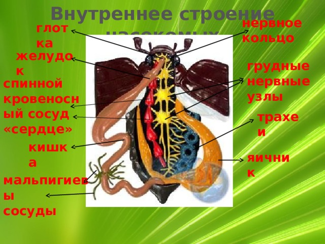 Внутреннее строение насекомых нервное кольцо глотка желудок грудные нервные узлы спинной кровеносный сосуд «сердце» трахеи кишка яичник мальпигиевы сосуды