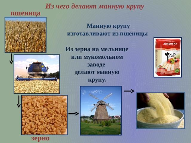 Из чего делают манную крупу пшеница Манную крупу изготавливают из пшеницы Из зерна на мельнице или мукомольном заводе делают манную крупу. зерно