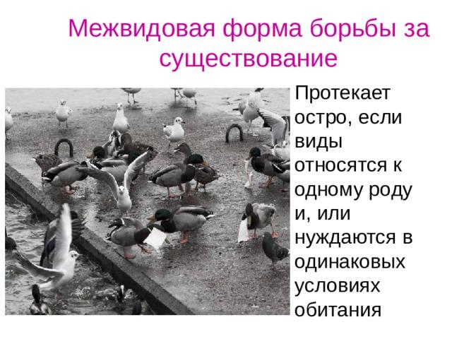 Межвидовая форма борьбы за существование Протекает остро, если виды относятся к одному роду и, или нуждаются в одинаковых условиях обитания