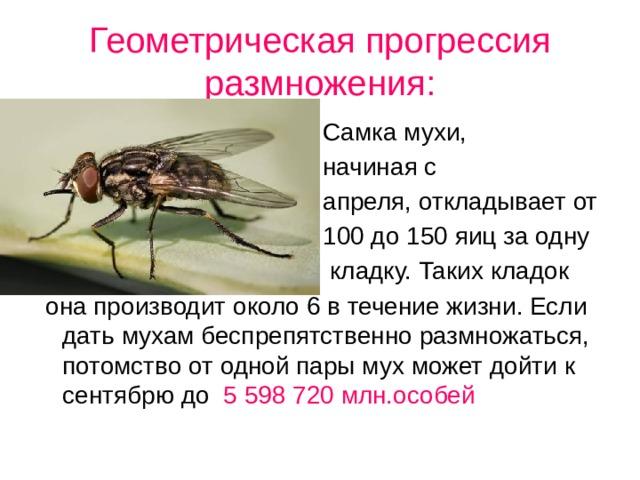 Геометрическая прогрессия размножения:  Самка мухи,  начиная с  апреля, откладывает от  100 до 150 яиц за одну  кладку. Таких кладок  она производит около 6 в течение жизни. Если дать мухам беспрепятственно размножаться, потомство от одной пары мух может дойти к сентябрю до 5 598 720 млн.особей