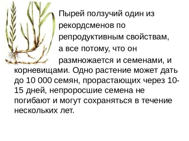 Пырей ползучий один из  рекордсменов по  репродуктивным свойствам,  а все потому, что он  размножается и семенами, и корневищами. Одно растение может дать до 10 000 семян, прорастающих через 10-15 дней, непроросшие семена не погибают и могут сохраняться в течение нескольких лет.