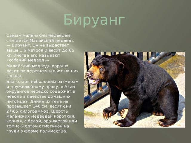Бируанг Самым маленьким медведем считается Малайский медведь — Бируанг. Он не вырастает выше 1,5 метров и весит до 65 кг,иногда его называют «собачий медведь». Малайский медведь хорошо лазит по деревьям и вьет на них гнезда. Благодаря небольшим размерам и дружелюбному нраву, в Азии бируангов нередко содержат в неволе в качестве домашних питомцев. Длина их тела не превышает 140 см, весят они 27-65 килограммов. Шерсть малайских медведей короткая, черная, с белой, оранжевой или темно-желтой отметиной на груди в форме полумесяца.